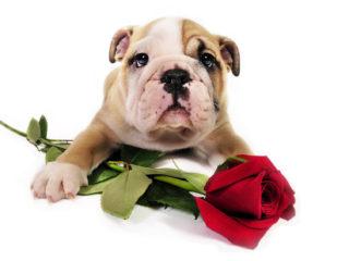 valentine-puppy