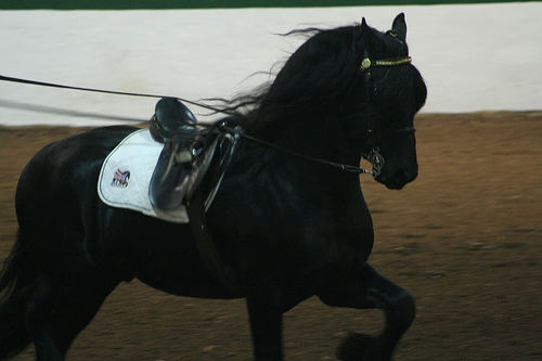 Sharp dark Friesian is sharp and dark.