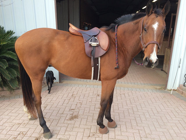 Simon modeling my favorite piece of tack, my beloved saddle, which has to be replaced :(