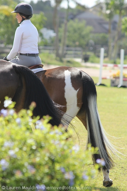 pinto-horse-walking