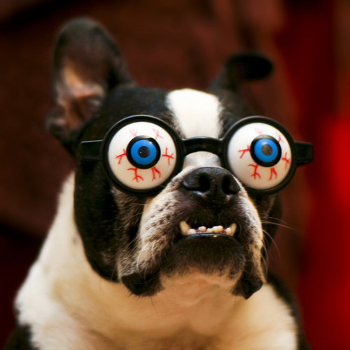 funny-boston-terrier-picture-of-dog-with-crazy-goggles