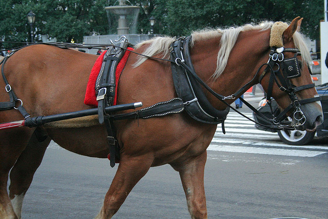 Not all of the carriage horses looked this good, unfortunately