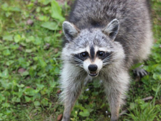 raccoons-in-the-wild-1-1624837
