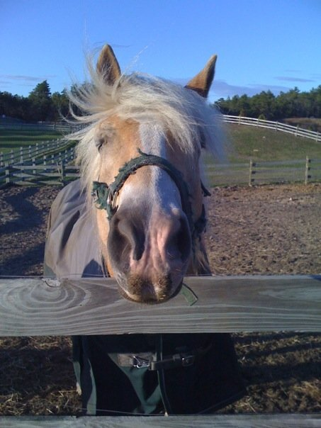 Willy the Haflinger who helped me find my confidence again
